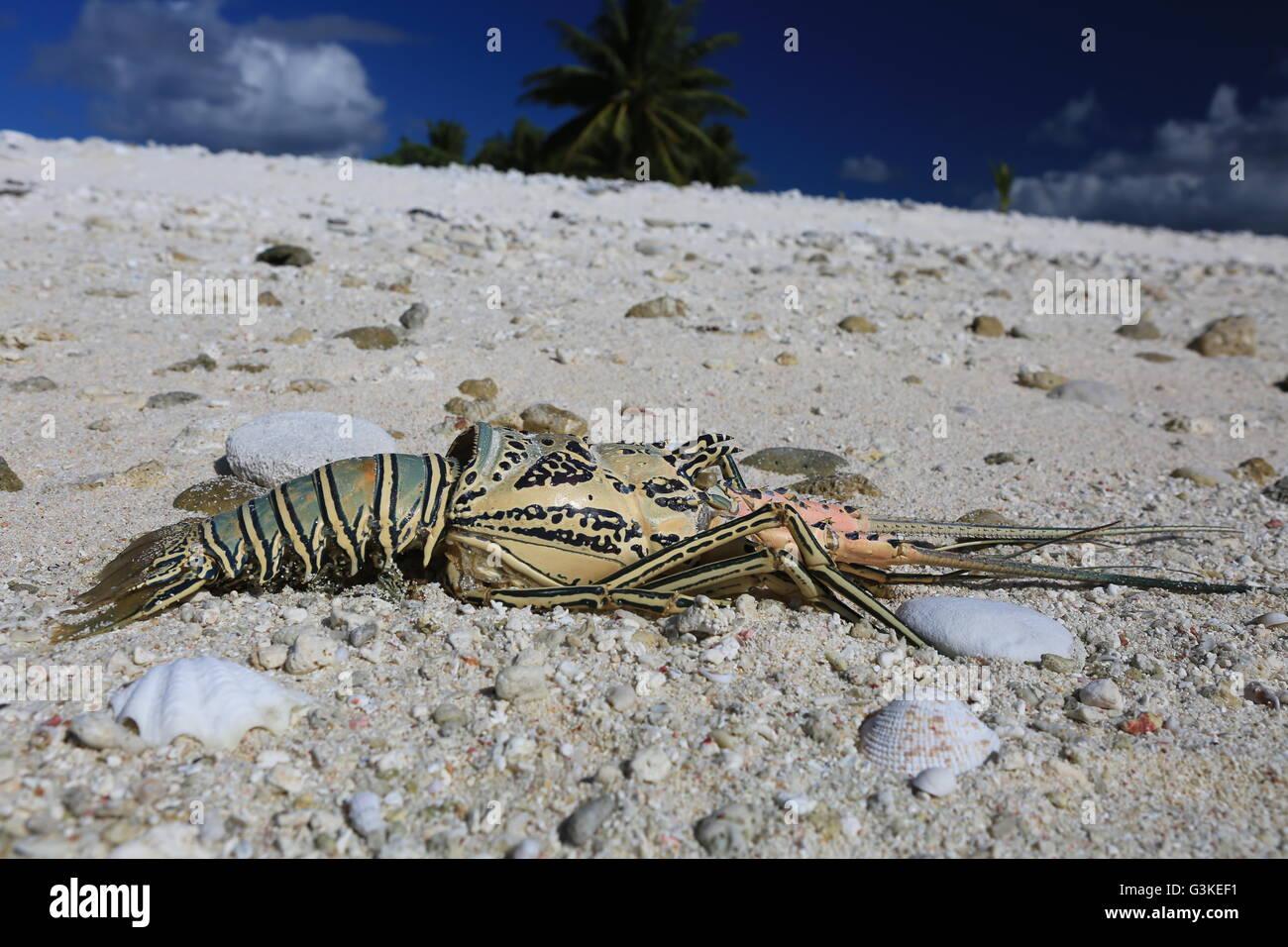 Lobster shell on a sandy beach, Christmas Island, Kiribati - Stock Image