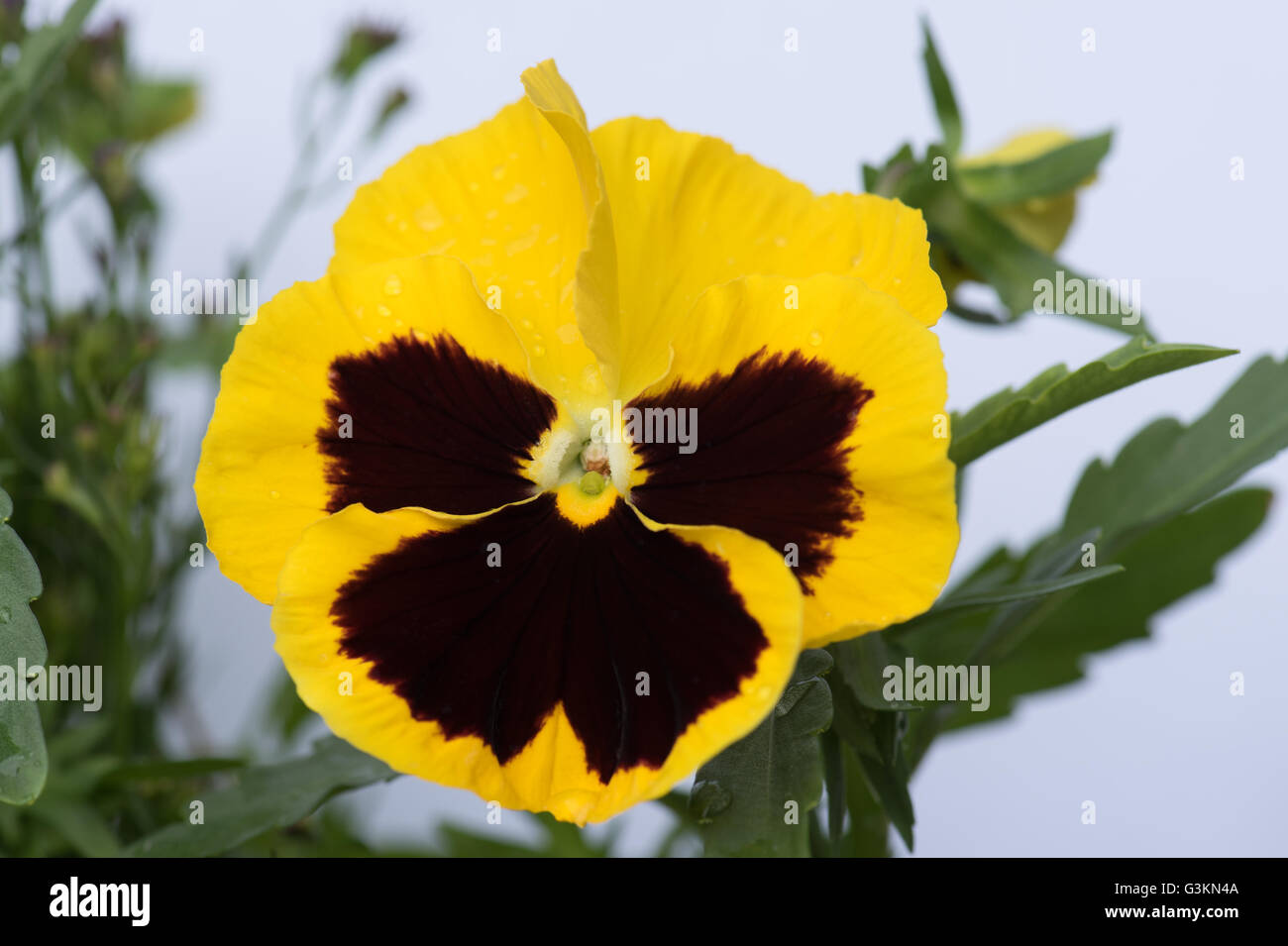 The lovely yellow and black faces of Viola wittrockiana, commonly called the pansy - Stock Image