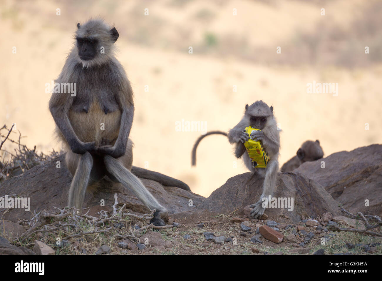 Monkey with plastic - Stock Image