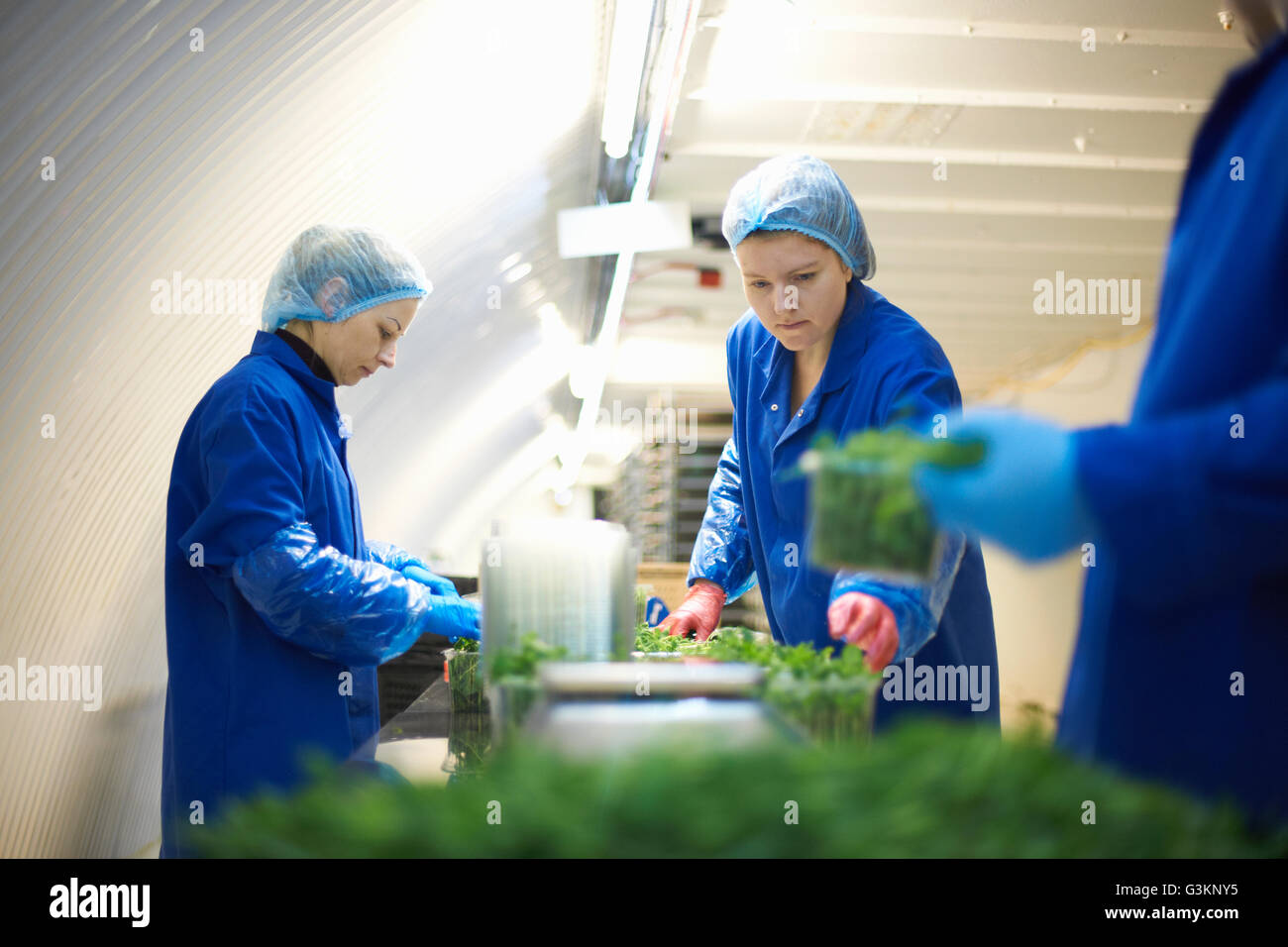 Women wearing working on production line, packing vegetables - Stock Image