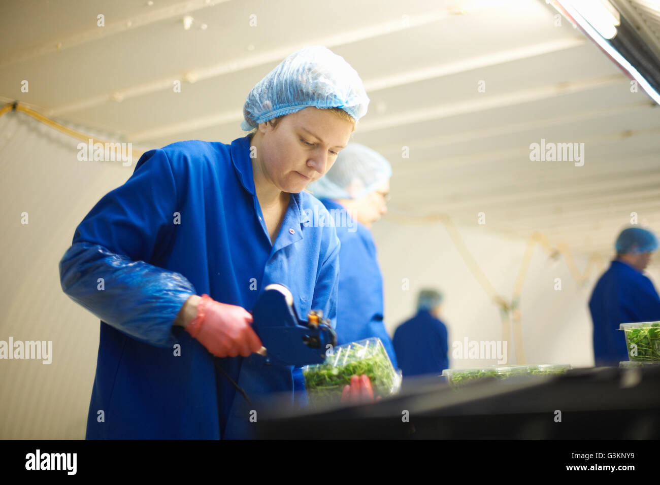 Woman wearing hair net on production line using price gun - Stock Image