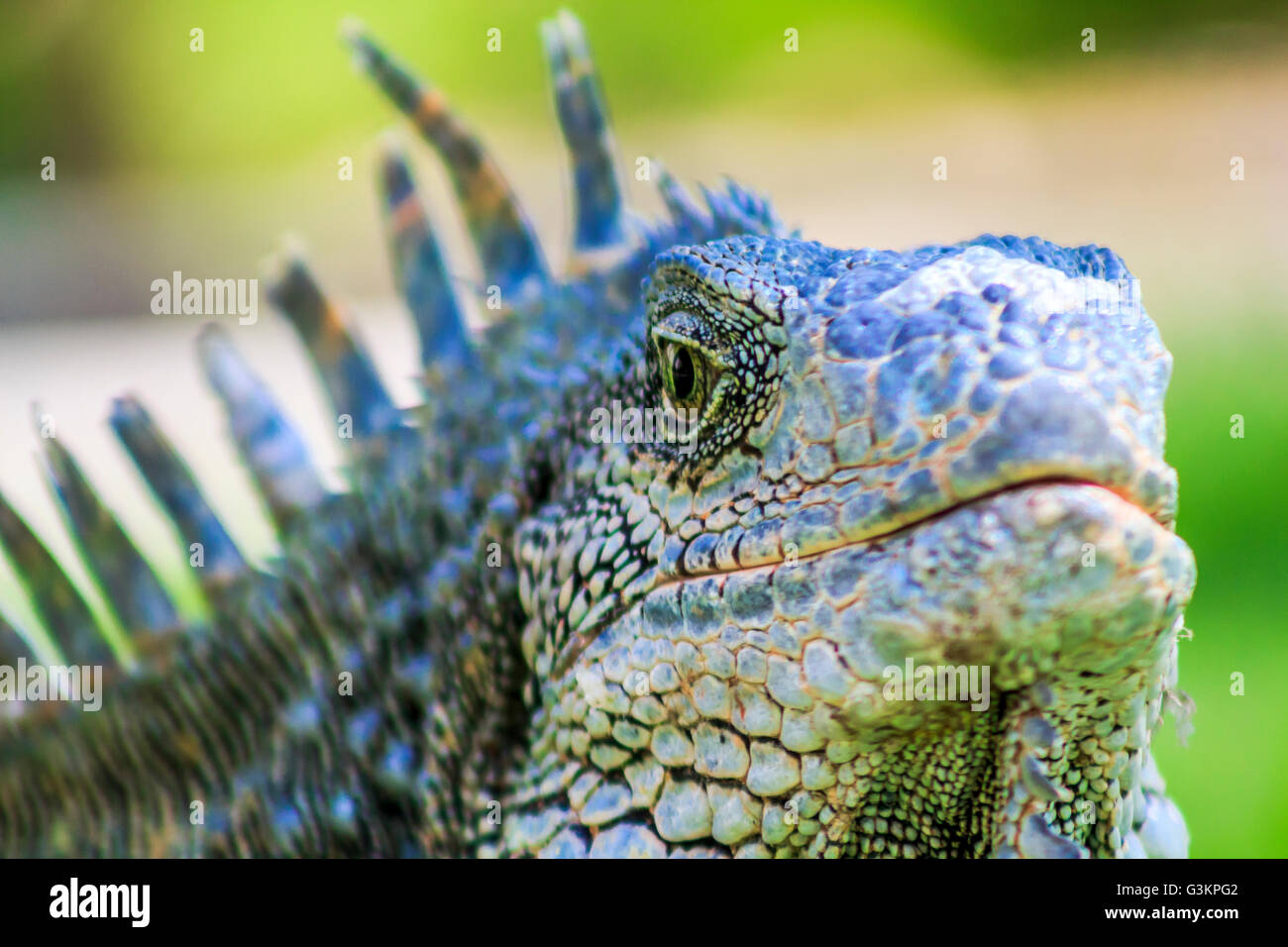 Close up of male green iguana (iguana Iguana) with spines and dewlap, Parque de las Iguanas, Guayaquil, Ecuador - Stock Image