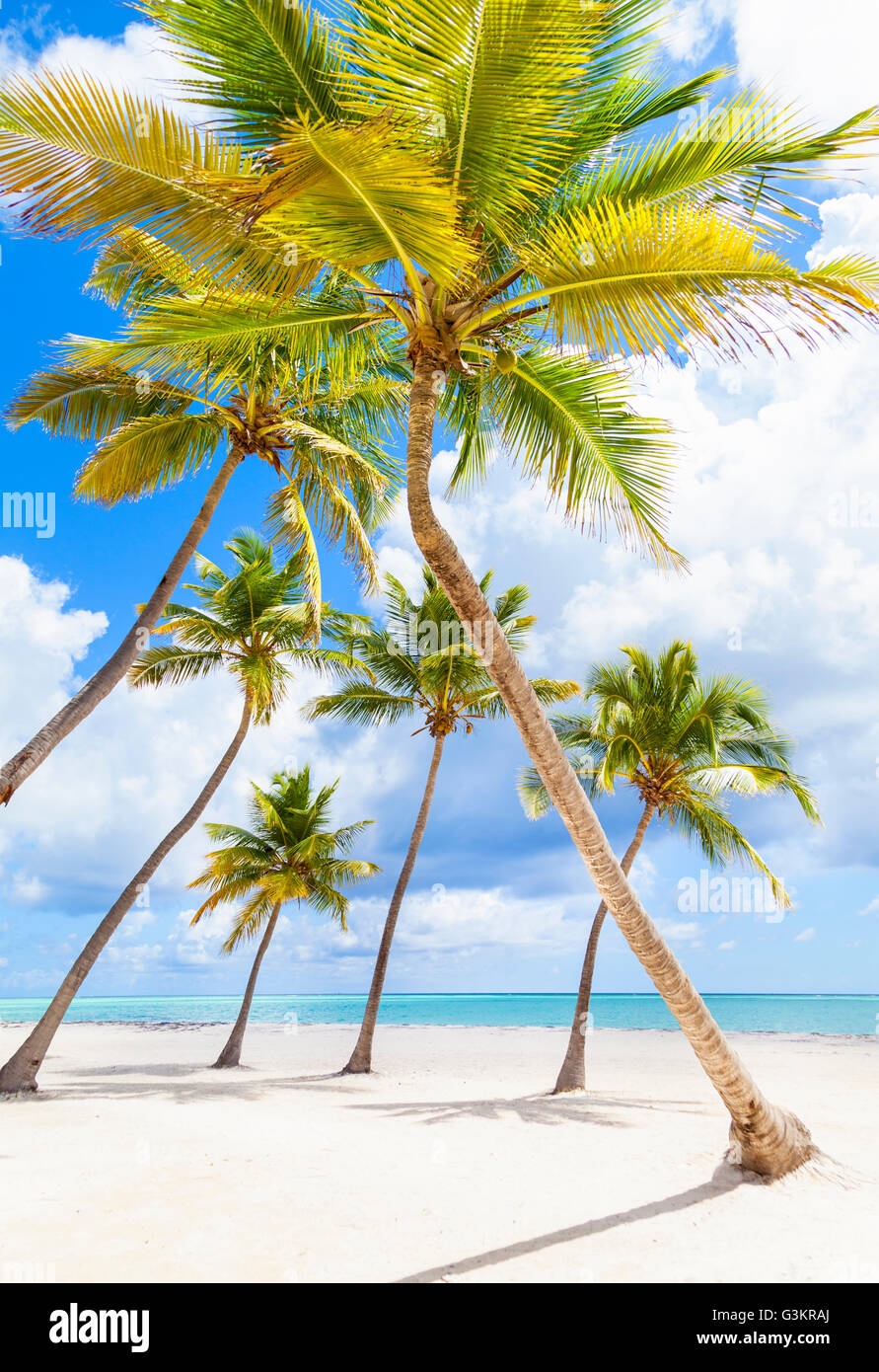 Palm trees leaning toward each other on beach, Dominican Republic, The Caribbean - Stock Image