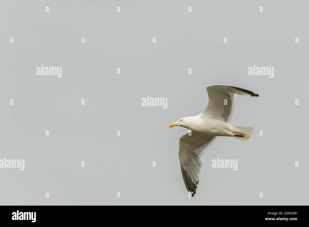 A European Herring Gull. Laurus argentatus. - Stock Image