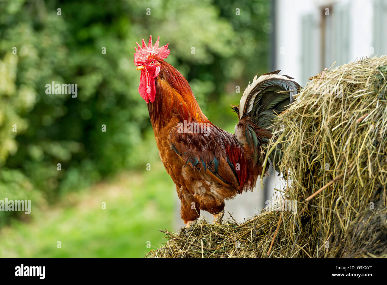Chicken (Gallus gallus domesticus), rooster on dung pile, Upper Bavaria, Bavaria, Germany - Stock Image