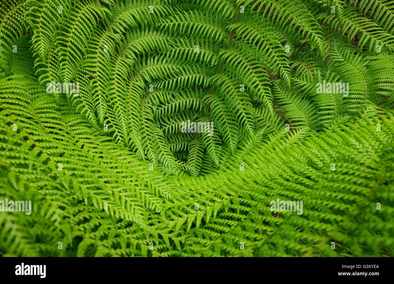 tree fern green leaves - Stock Image