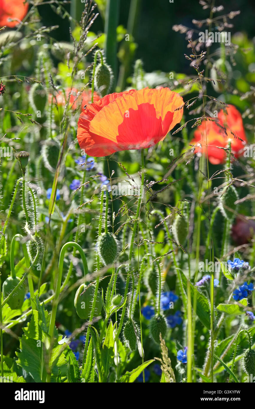 wildflowers in english country garden - Stock Image