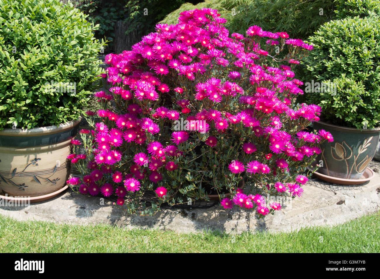 Lampranthus spectabilis - Stock Image