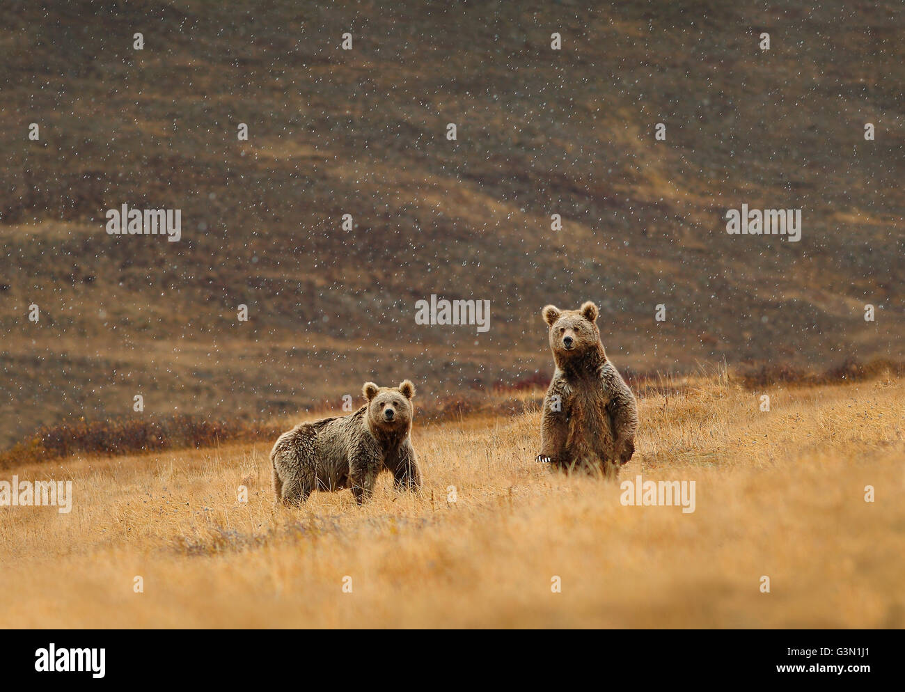 Himalayan brown bear - Stock Image