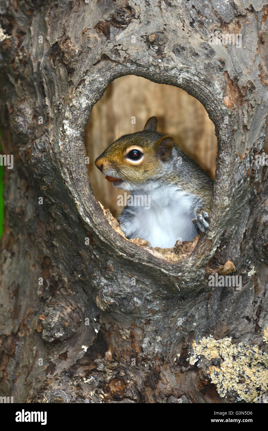 Adult grey squirrel emerging from hollow tree. Dorset, UK - Stock Image