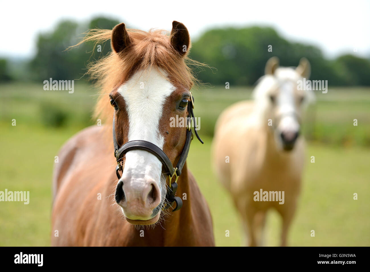 Young pale horse (filly) - Stock Image