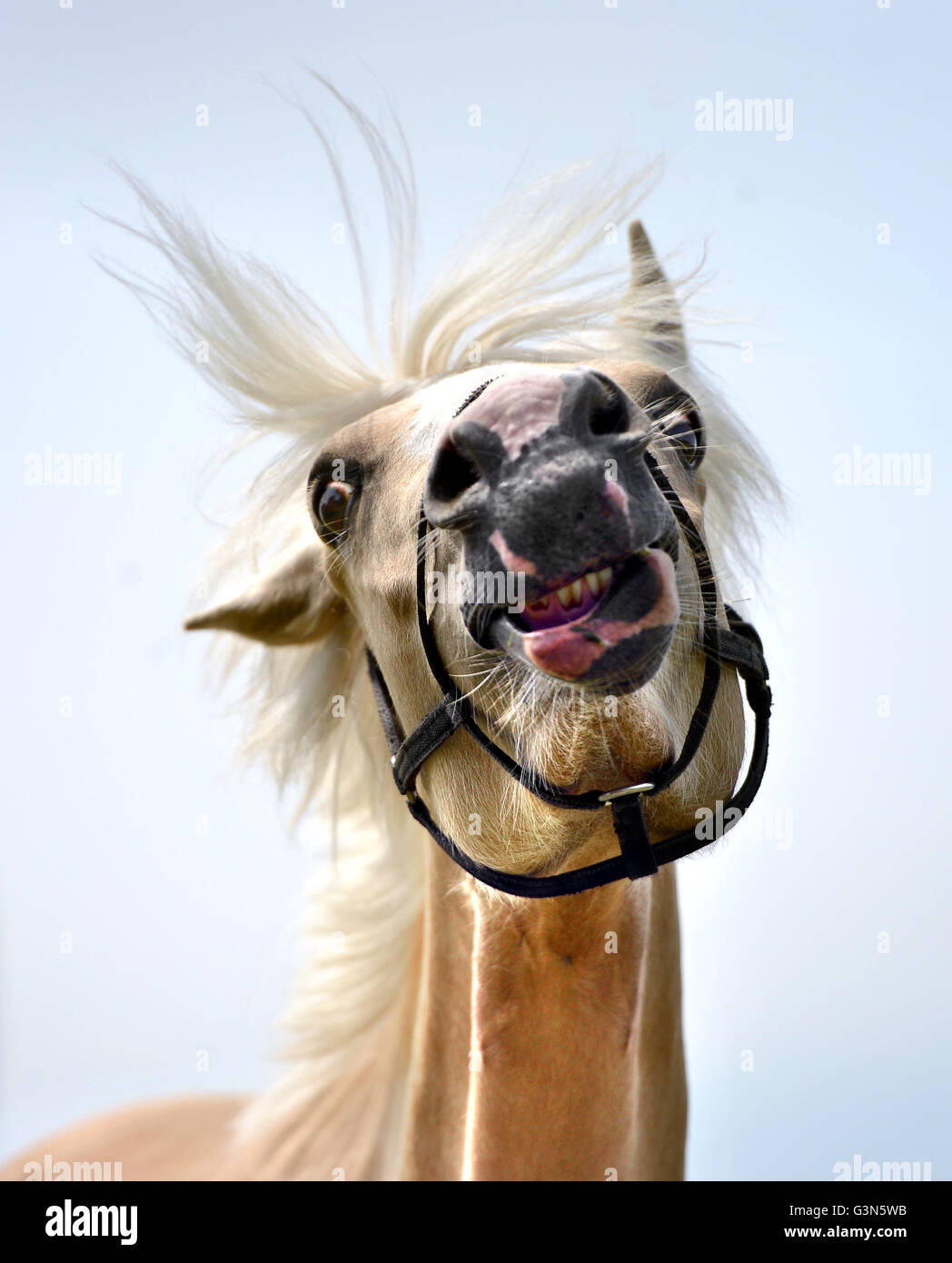 Young pale horse (filly) Stock Photo