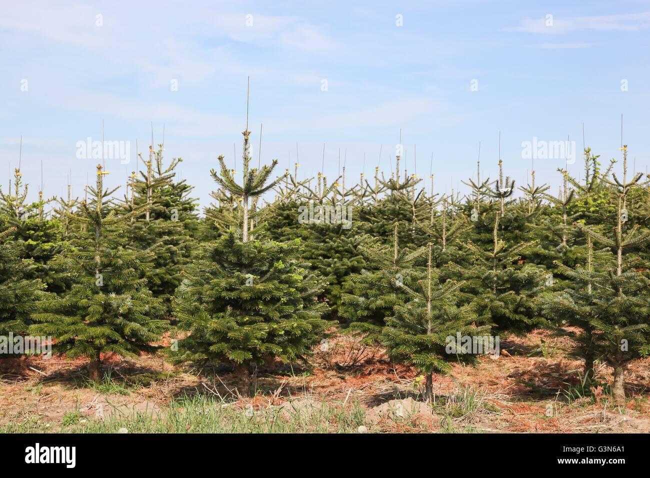 Nordmann fir plantation in Denmark Stock Photo