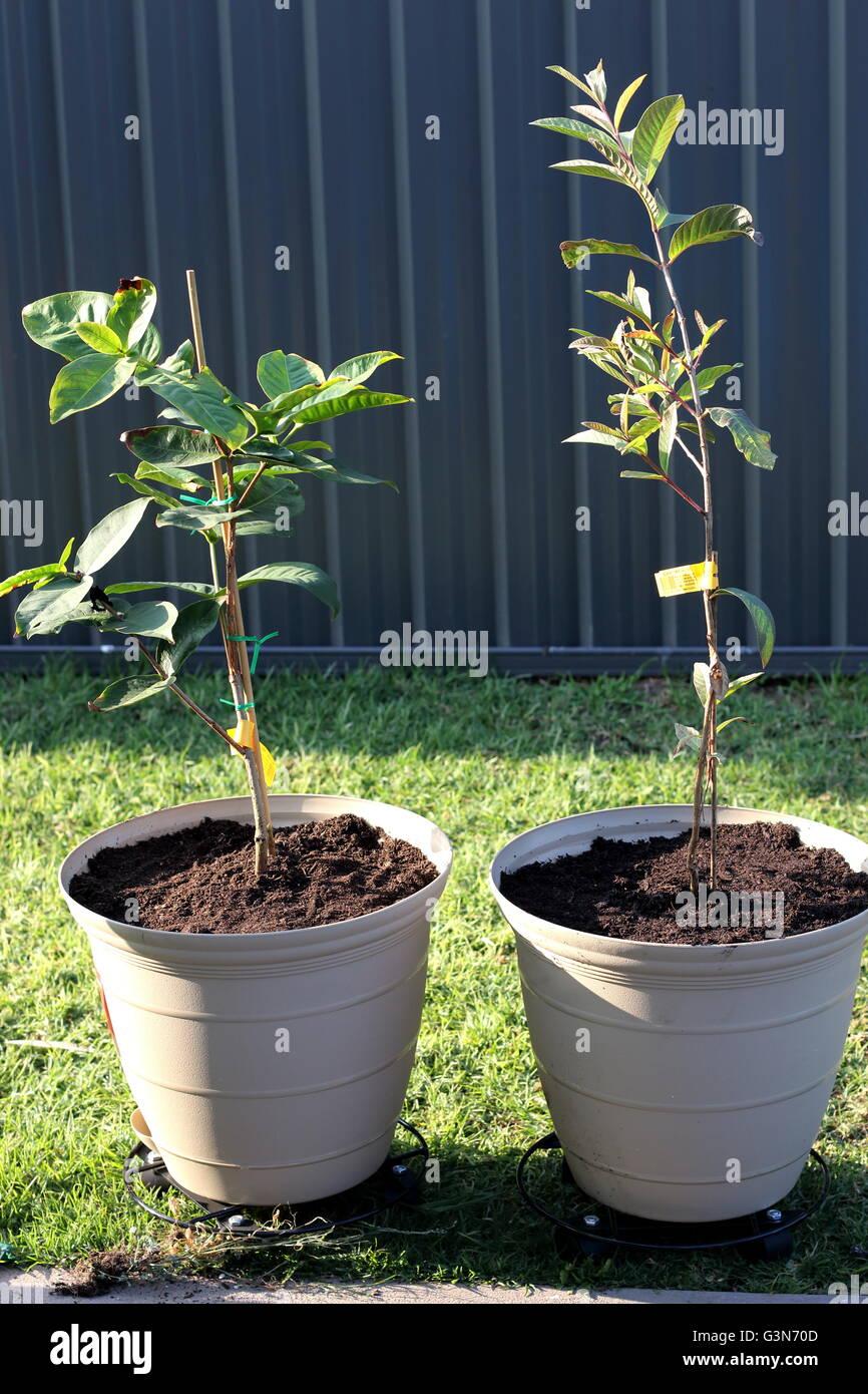 Growing Guava Stock Photos & Growing Guava Stock Images - Alamy