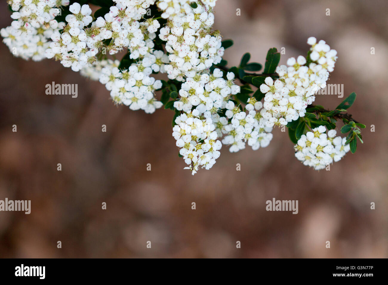 Clusters of tiny white flowers along a branch stretch out from the clusters of tiny white flowers along a branch stretch out from the tree with earthy toned background mightylinksfo