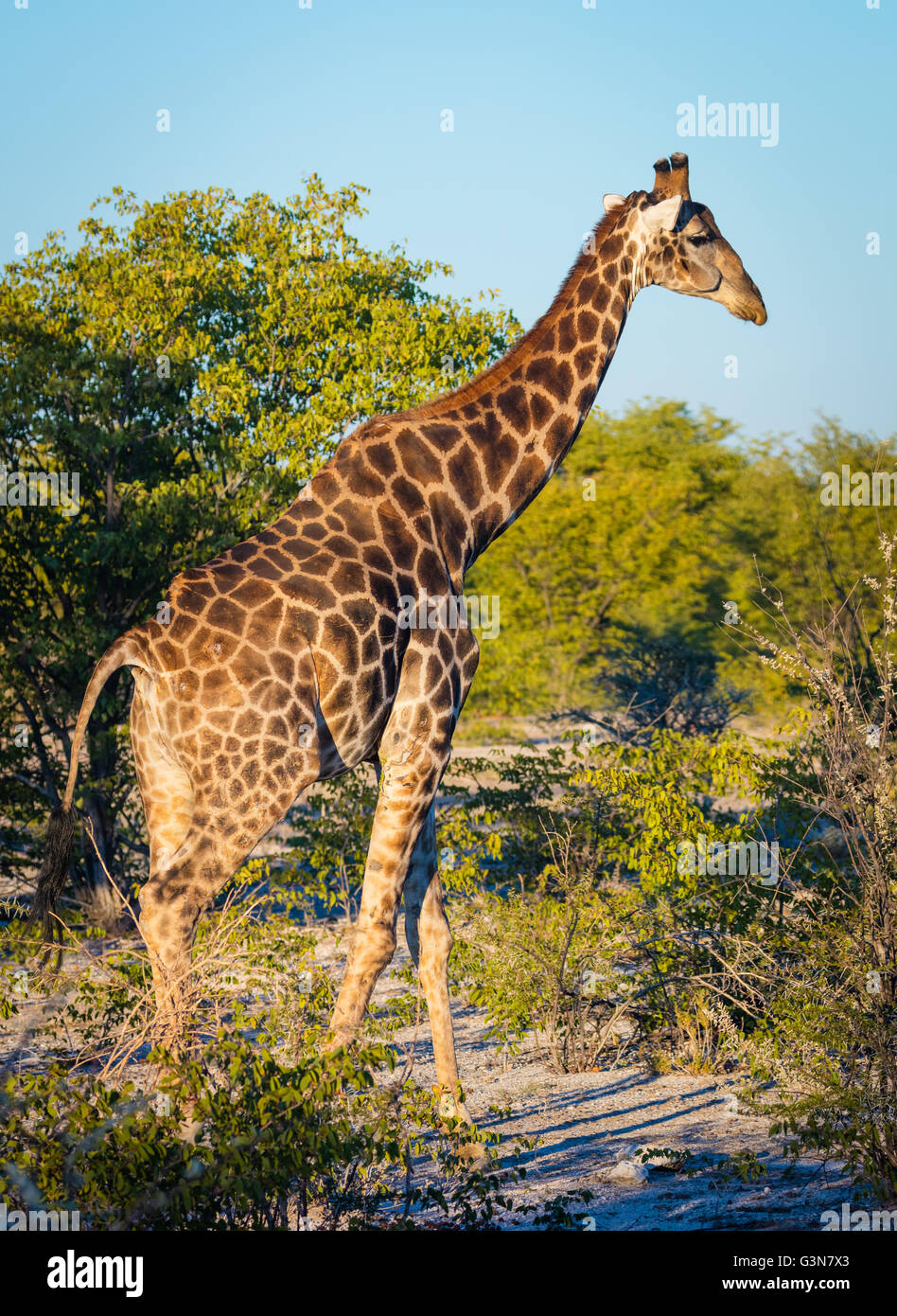 The giraffe (Giraffa camelopardalis) is an African even-toed ungulate mammal, the tallest living terrestrial animal - Stock Image