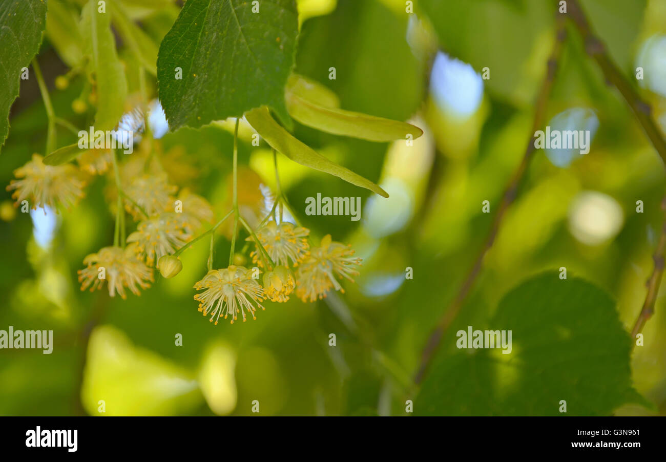 Linden flowers and linden tree in spring time - Stock Image