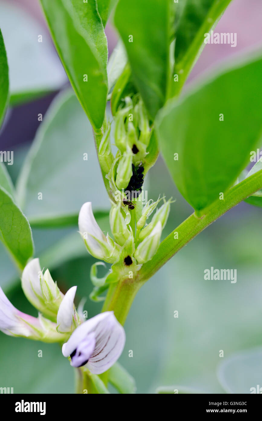 Field beans, Vicia faba, young plants with flowers and ants tending aphids. Beans also know as broad, fava, faba, - Stock Image