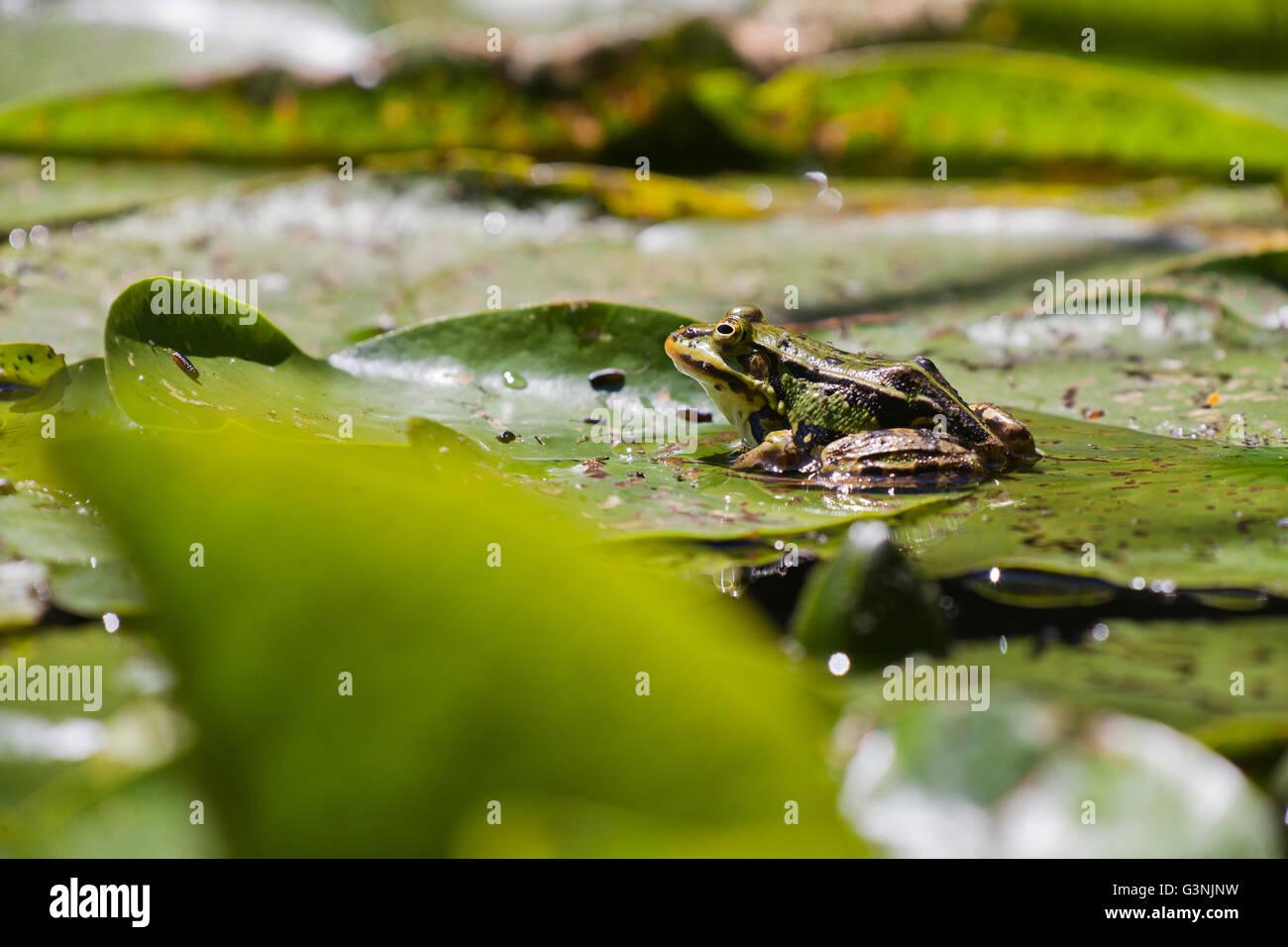 Green frog (Pelophylax esculentus), Schrems upland moor nature park, Waldviertel, Forest Quarter, Lower Austria, Stock Photo