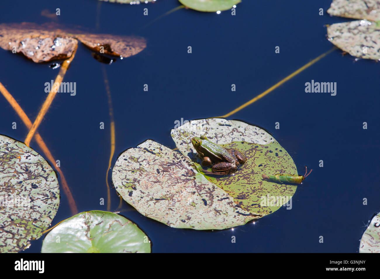 Green frog (Pelophylax esculentus), Schrems upland moor nature park, Waldviertel, Forest Quarter, Lower Austria, - Stock Image