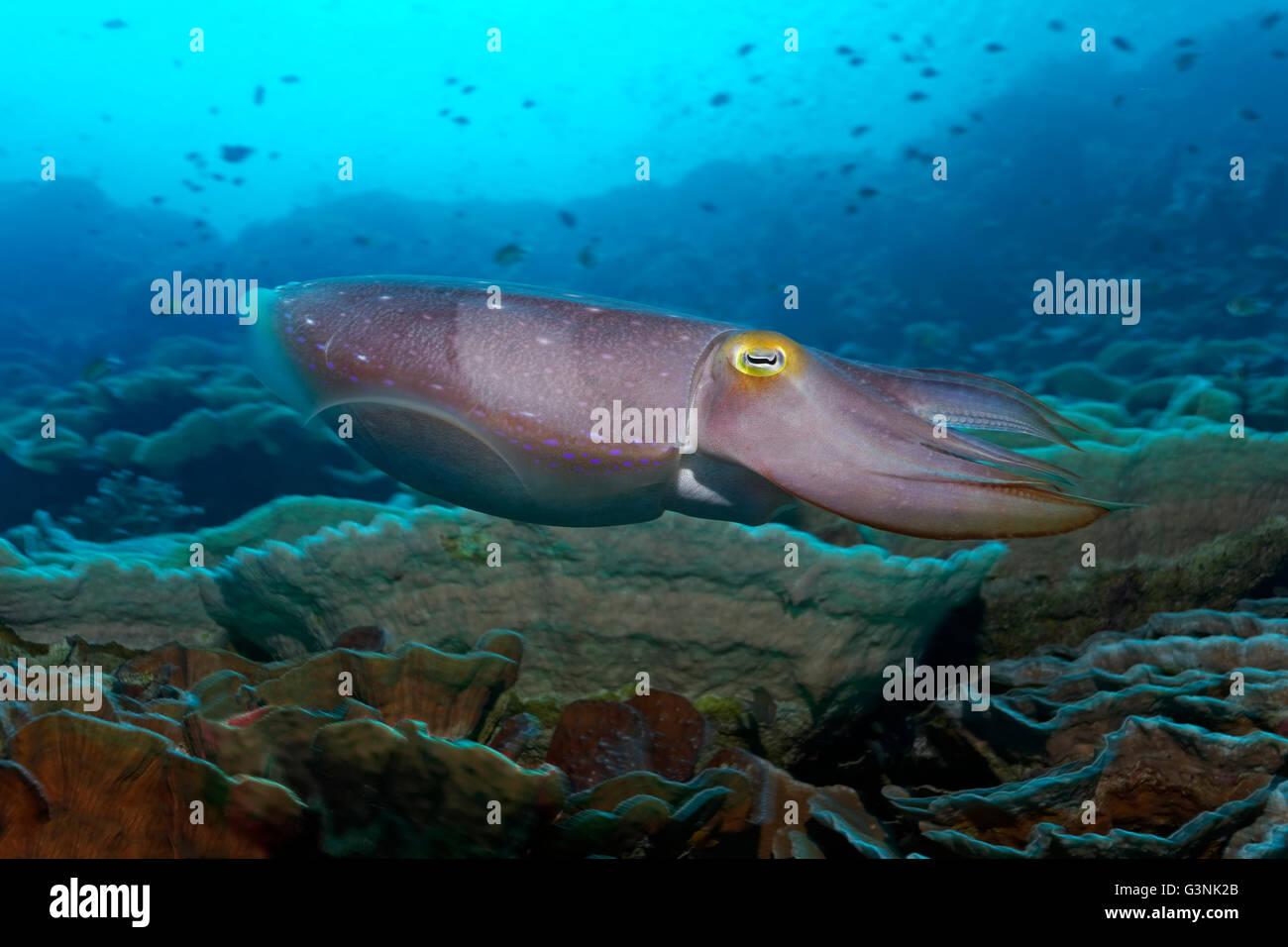 Broadclub cuttlefish (Sepia latimanus) swimming over coral reef, Wakatobi Island, Tukangbesi Archipelago, Wakatobi - Stock Image
