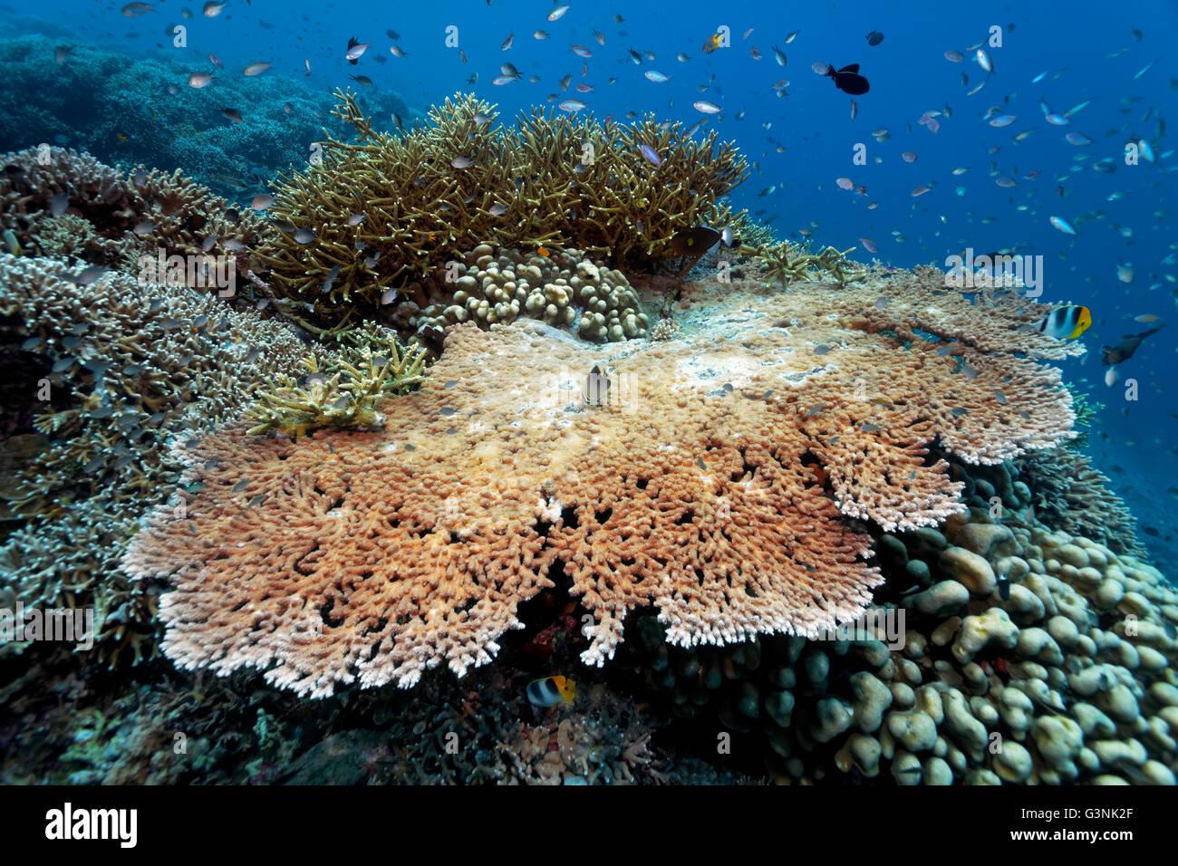 Coral reef, various stony corals (Hexacorallia) and reef fish, Wakatobi Island, Tukangbesi Archipelago, Wakatobi - Stock Image
