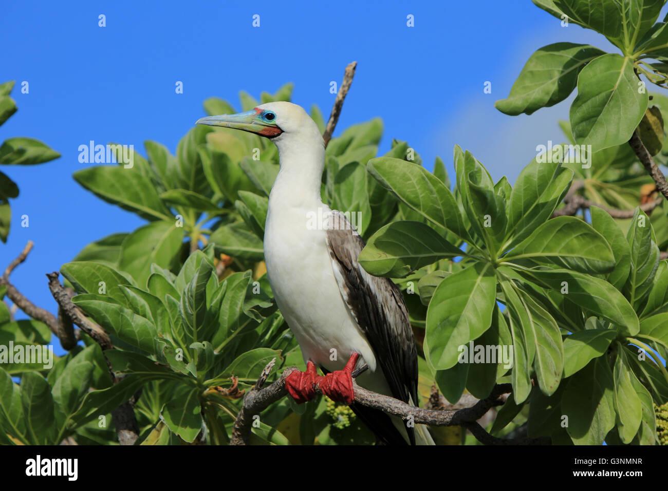 Red-Footed Booby bird, Christmas Island, Kiribati - Stock Image