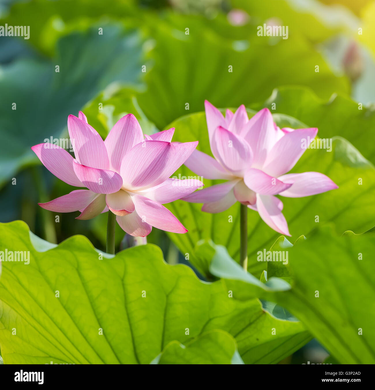 Lotus flower blooming on pond stock photo 105590981 alamy lotus flower blooming on pond izmirmasajfo