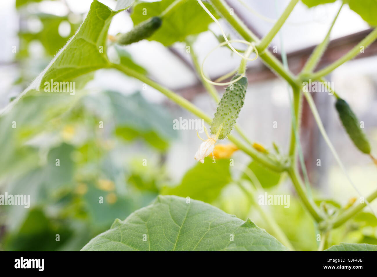 Growing young cucumber in a glasshouse. Agricultural and gardening background - Stock Image