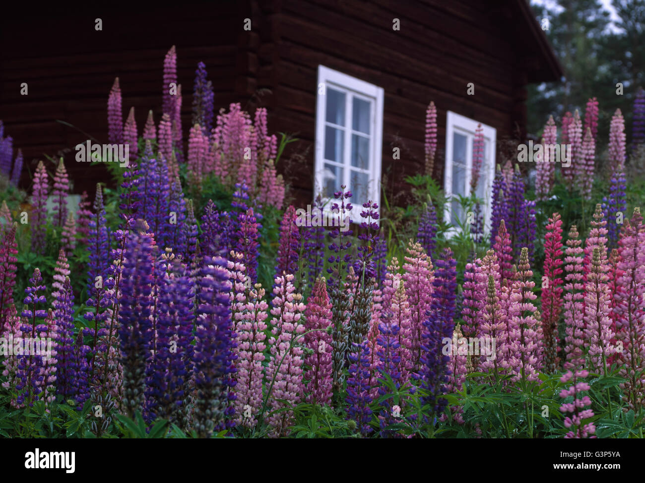 Sweden, Dalarna, Solleron, Picture of lupines - Stock Image