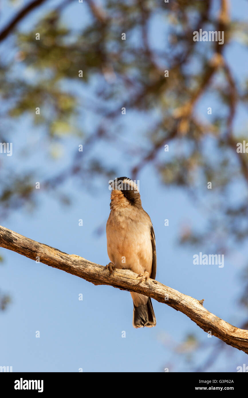 White-browed sparrow-weaver - Stock Image