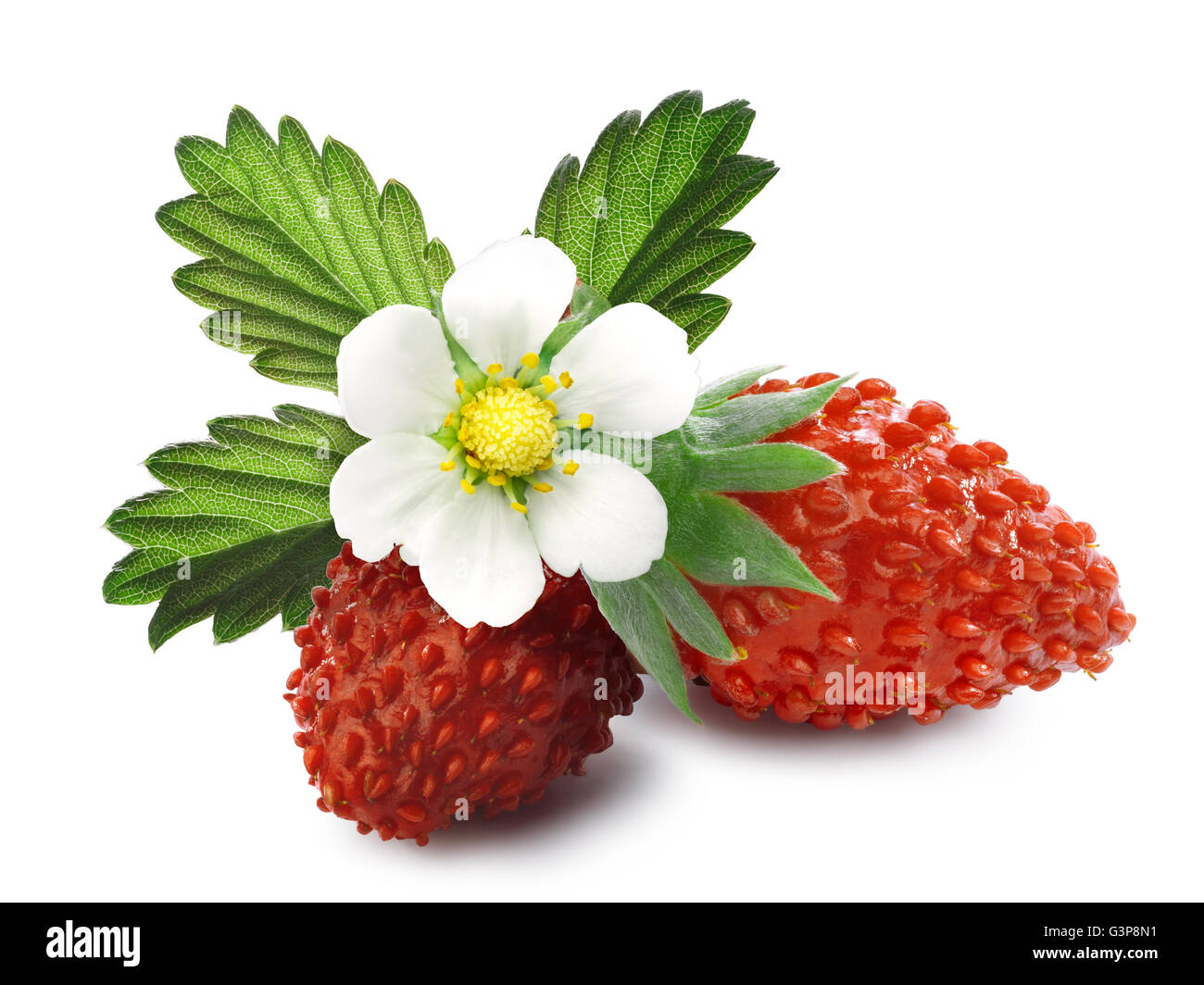 Woodland strawberry (Fragaria vesca, fraise de bois)  with flower. Separate clipping paths for shadows and berries, - Stock Image
