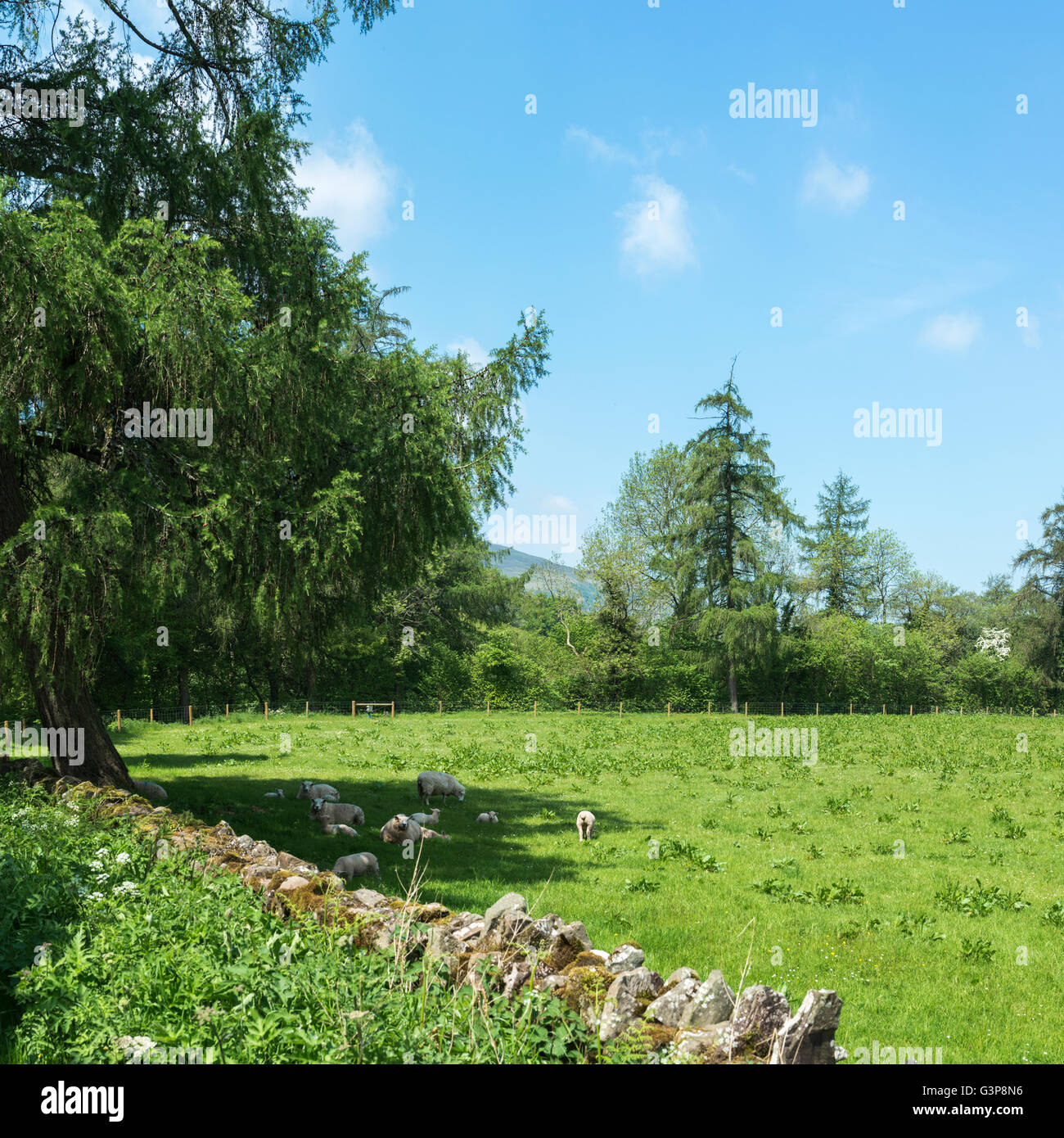 Sheep and lambs in a field sheltering under a tree on a hot summer day. - Stock Image