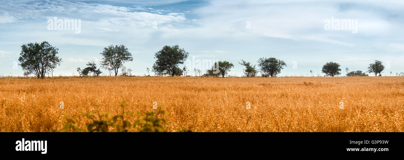 Wild Oat Field with Trees on Murge, Apulia - Stock Image