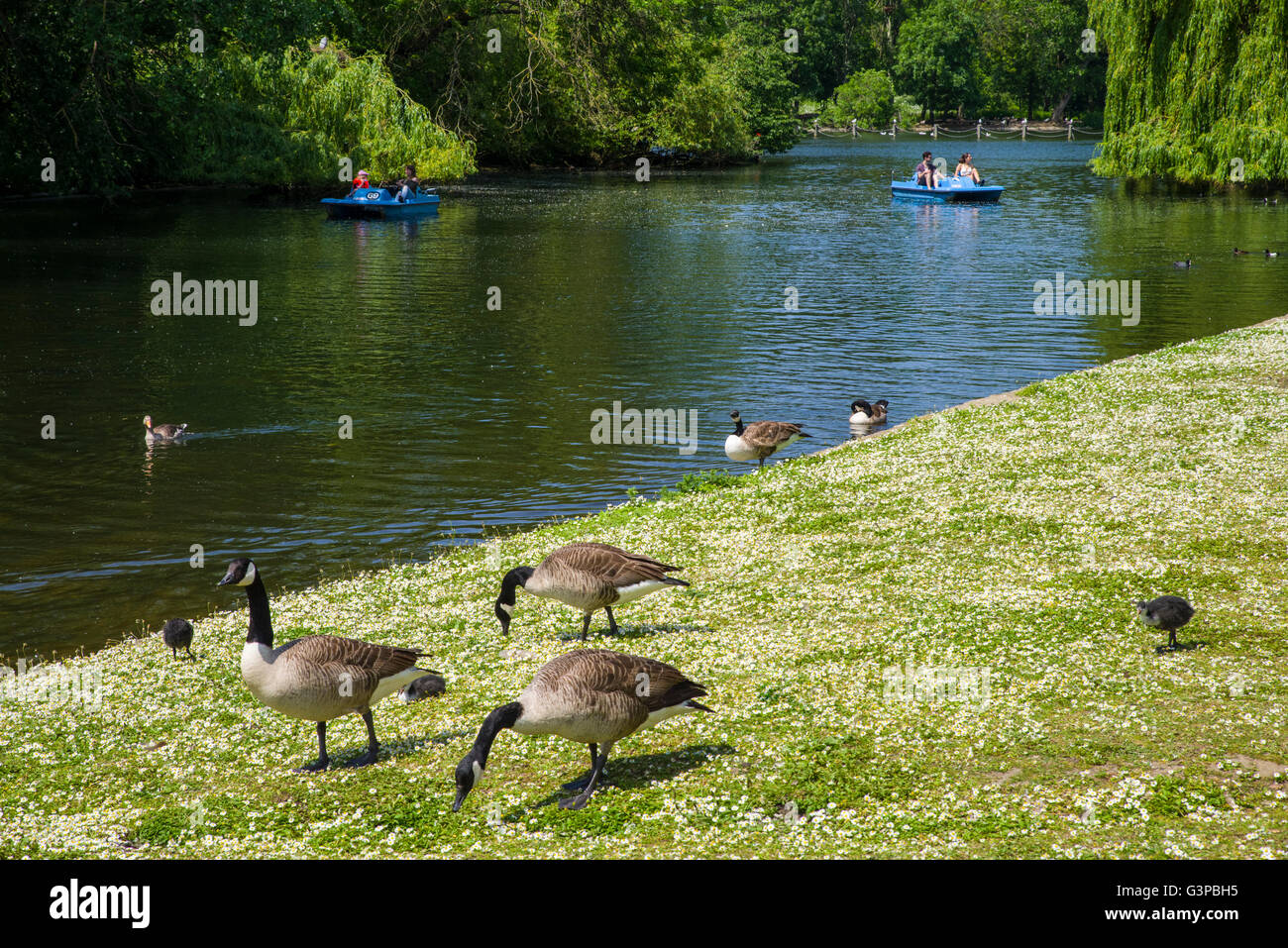 A view of the beautiful lake and wildlife in the historic Regents Park, London. - Stock Image