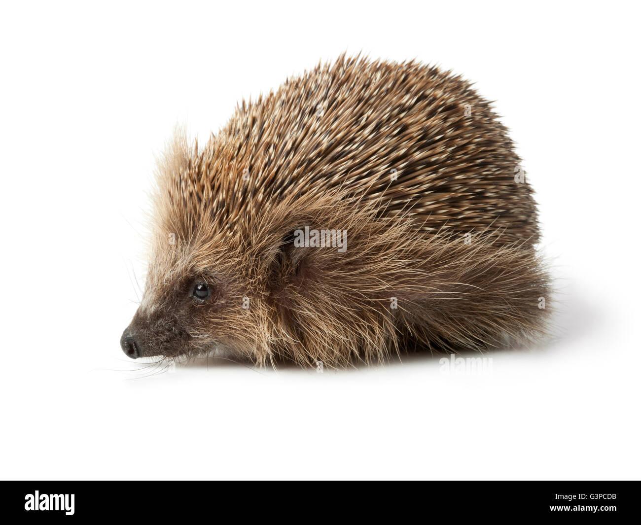 Single hedgehog on white background - Stock Image