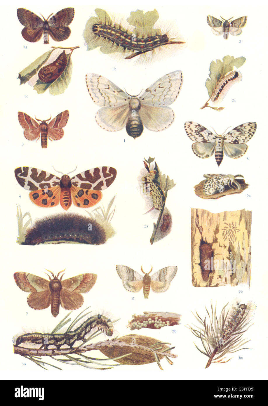 MOTHS: Gypsy, Tiger, Psilura, Lackey, Tussock, Pine; caterpillar; Pupa, 1907 - Stock Image