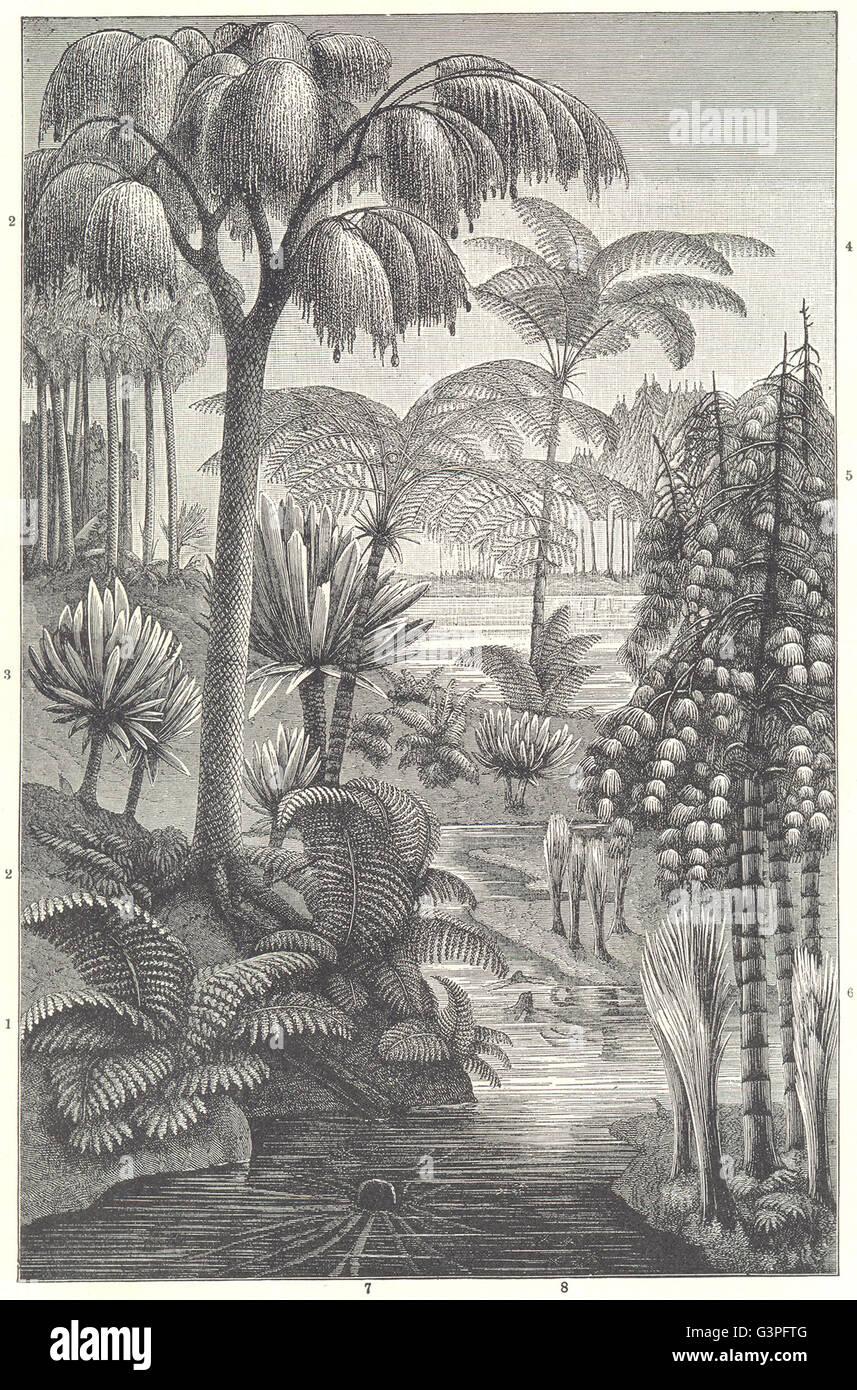 CARBONIFEROUS FOSSIL: Tooth-fern Cordaites borassifolia Pecopteris Cyathea, 1907 Stock Photo