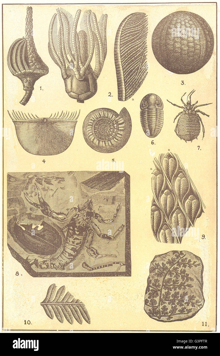 CARBONIFEROUS FOSSILS: Actinocrinus; Platycrinus; Plaeechinus; Chonetes, 1907 Stock Photo
