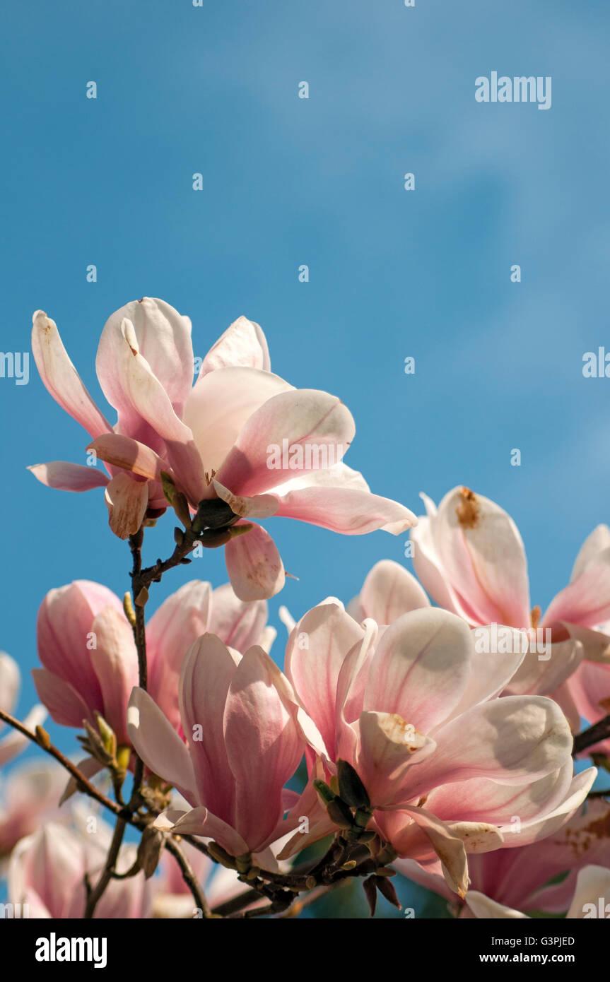 Flowering Saucer magnolia (Magnolia soulangeana amabilis), Smetanovy sady, Olomouc, Czech Republic, Europe Stock Photo
