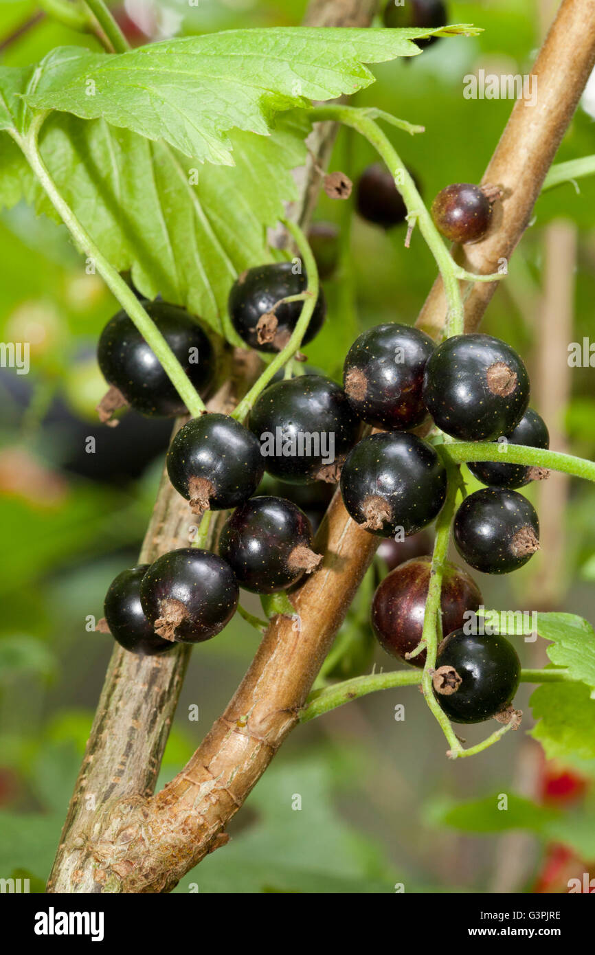 Black currants (Ribes nigrum) on the bush, garden, Dortmund, North Rhine-Westphalia Stock Photo