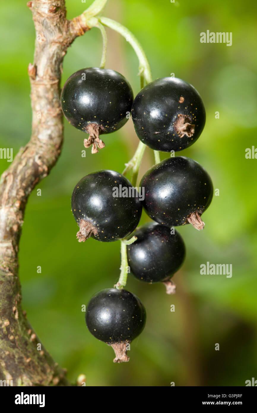 Black currants (Ribes nigrum) on the bush, garden, Dortmund, North Rhine-Westphalia Stock Photo