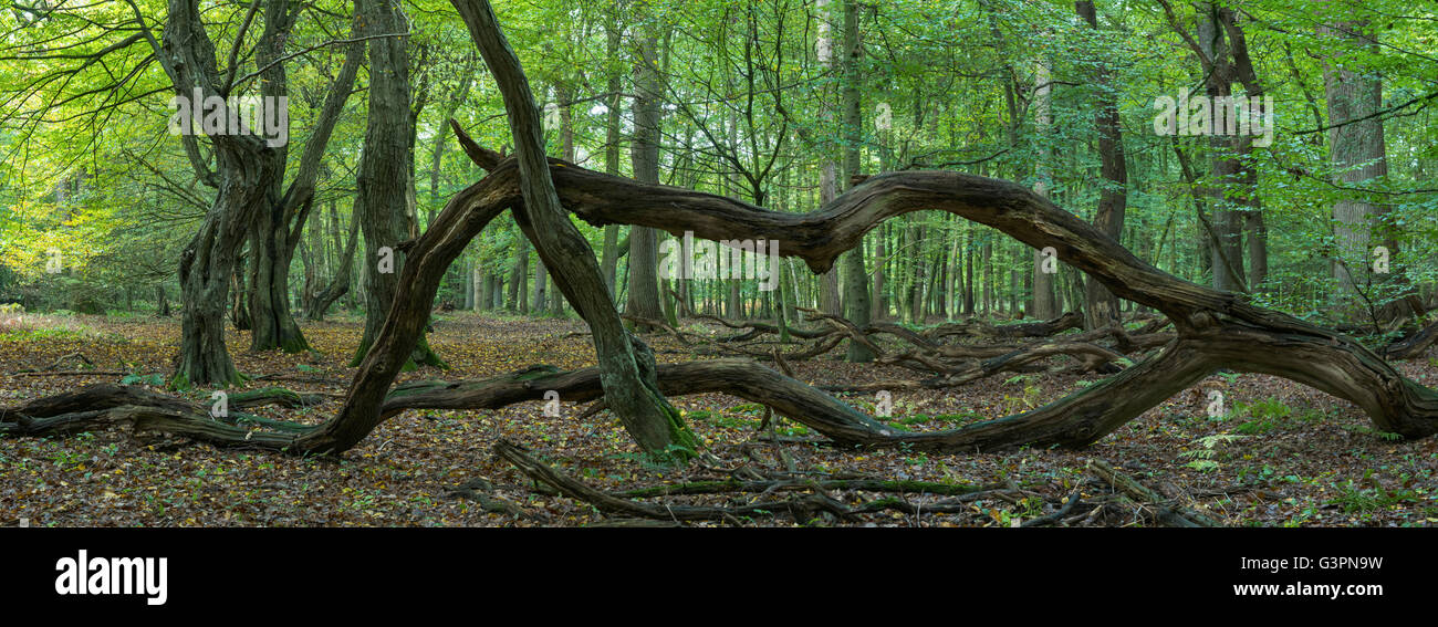 primeval forest at baumweg nature reserve, lower saxony, germany - Stock Image
