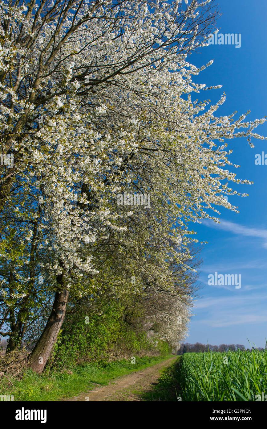 blooming cherry tree at a hedge bank, oldenburg münsterland, niedersachsen, germany - Stock Image