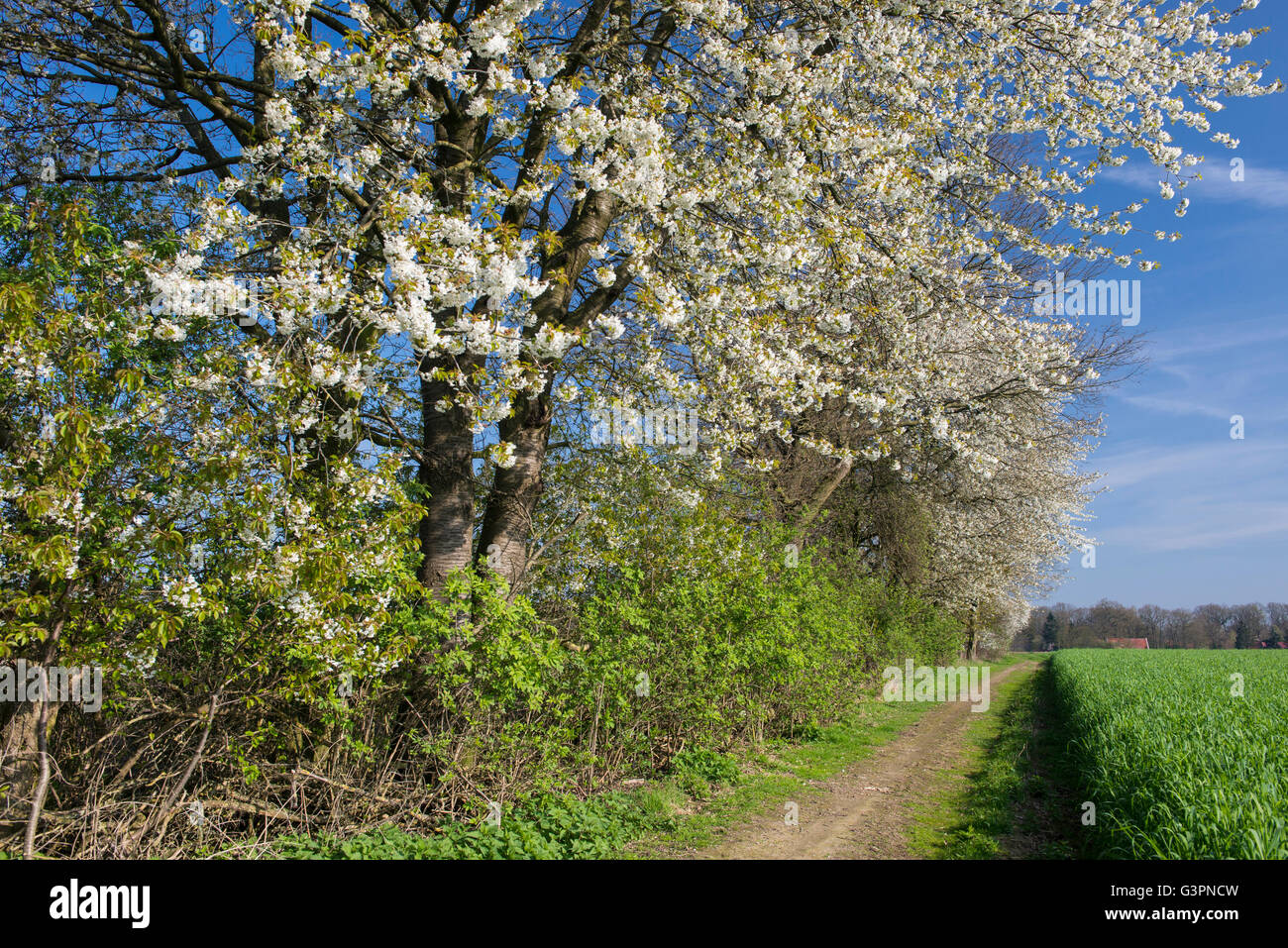 blooming cherry tree at a hedge bank, oldenburg münsterland, niedersachsen, germany Stock Photo