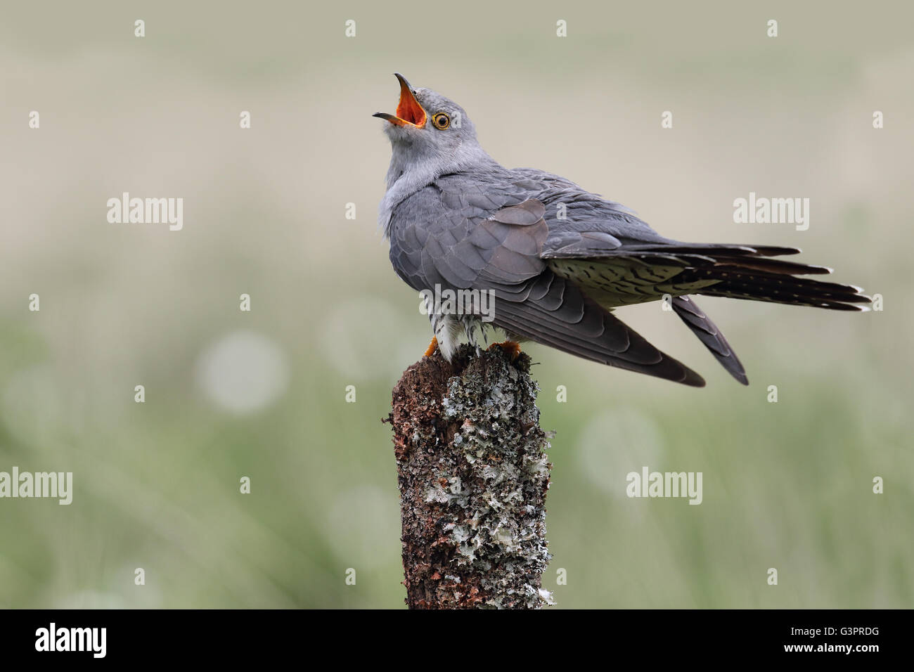 Wild adult Male Cuckoo (Cuculus canorus) calling. Image taken in Scotland, UK. - Stock Image