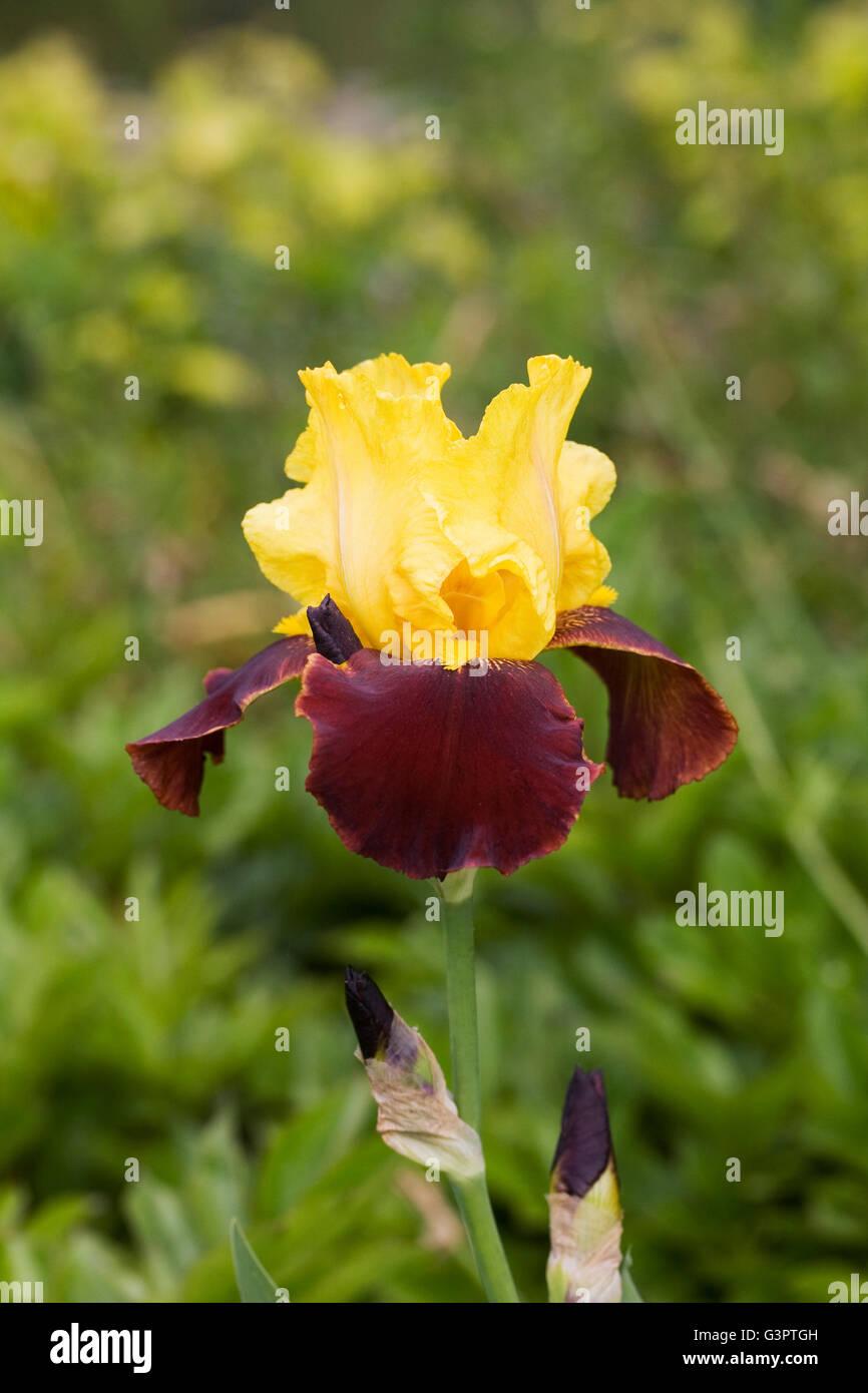 Iris 'Andalou' growing in an English garden. - Stock Image