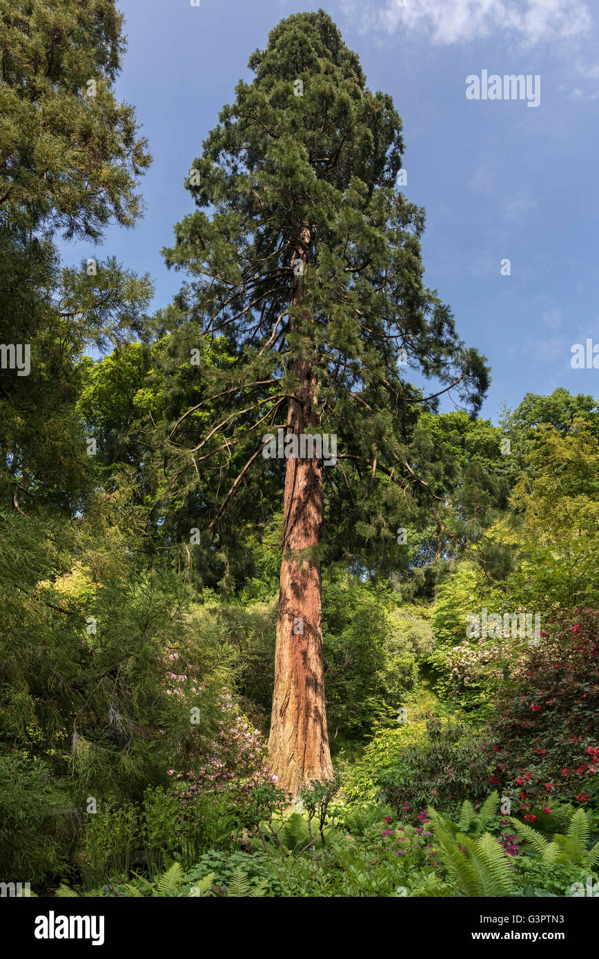 Giant tree conifer - Stock Image