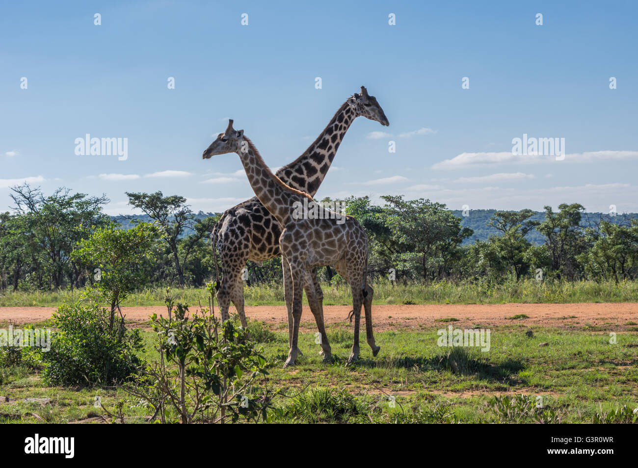 Giraffe teaching her offspring to fight in the Welgevonden Game Reserve in South Africa - Stock Image