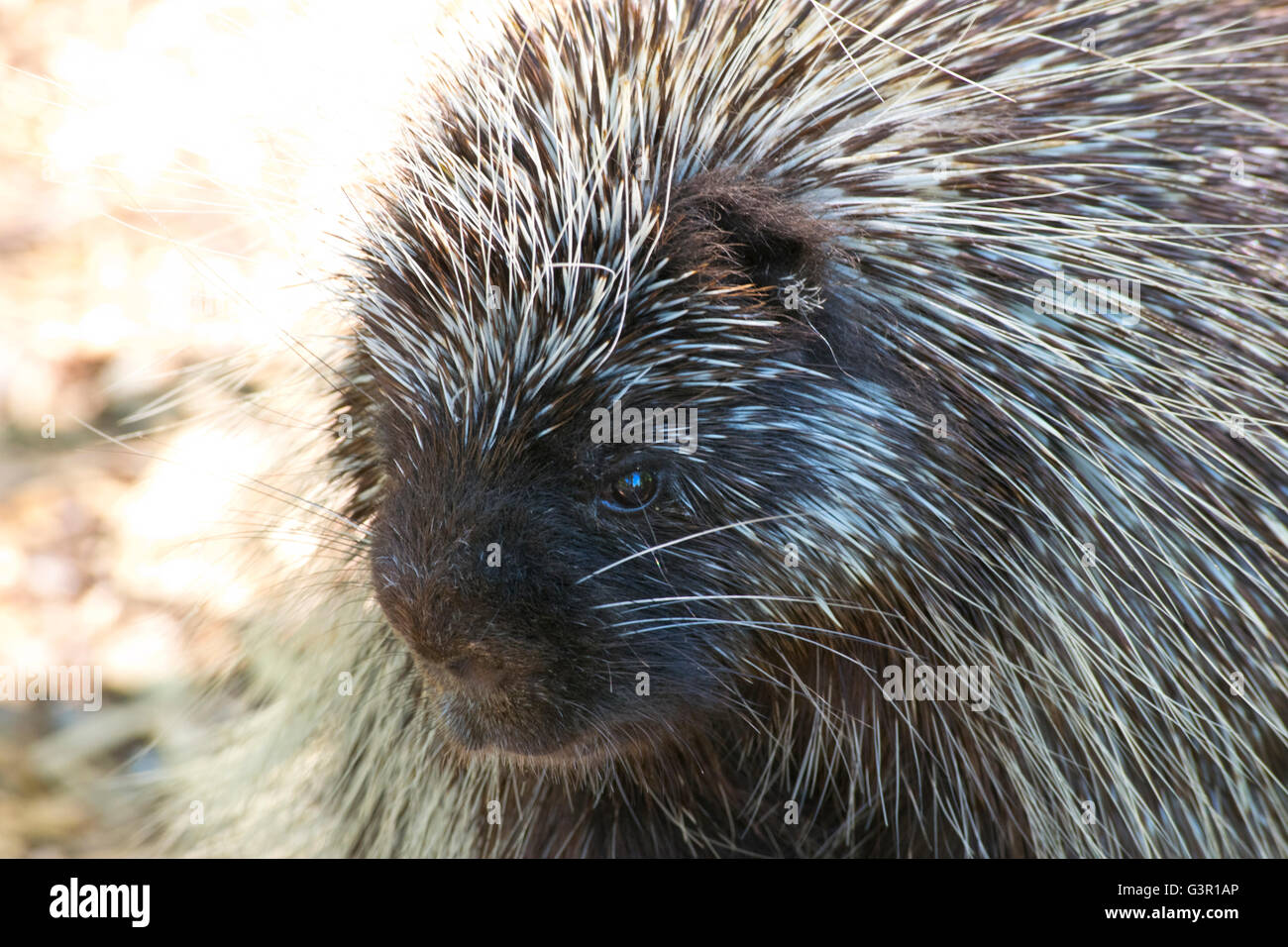 Close-up of a Common Porcupine. Stock Photo